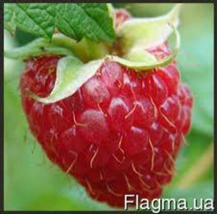 Саженцы ранней малины Глен Емпл (Glen Ample), урожайная