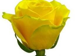 Саженцы роз из питомника более 100 сортов