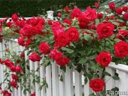 Саженцы роз из питомника