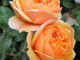 Саженцы роз каталог сортов. Заказ саженцев Весна 2021