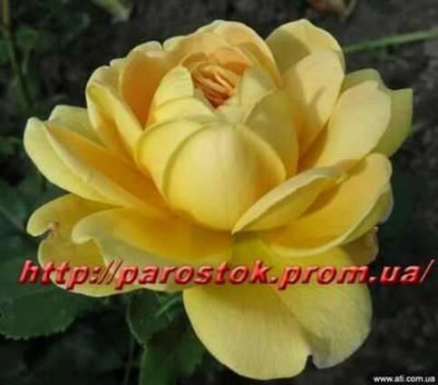 Саженцы роз каталог сортов. Заказ - Весна 2018