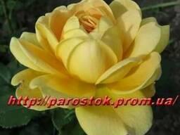 Саженцы роз каталог сортов. Заказ - Весна 2019