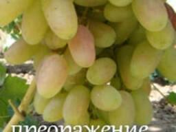 Саженцы столового и кишмишных сортов винограда