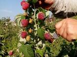 Саженцы супер-урожайной малины Polesie(ягода как у клубники) - фото 1