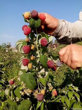 Саженцы супер-урожайной малины Polesie(ягода как у клубники)
