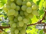 Саженцы винограда Благовест - фото 1