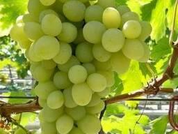 Саженцы винограда Благовест