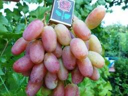 Саженцы винограда Донецк