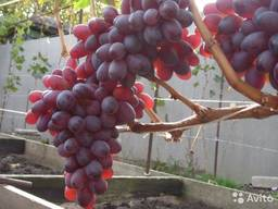 Саженцы винограда Дубовский розовый, Цимус, Гелиодор, Карнав