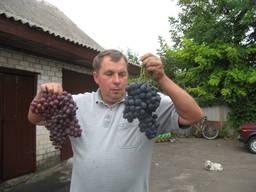 Саженцы винограда опт розница