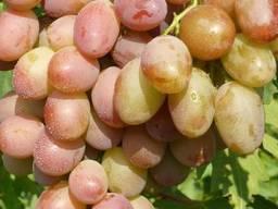Саженцы винограда сорт Джаконда