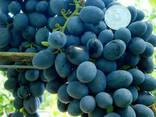 Саженцы винограда сорт Ребекка - фото 1