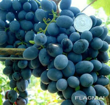 Саженцы винограда сорт Ребекка