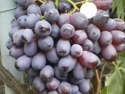 Саженцы винограда сорт Шоколадный