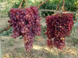 Саженцы винограда Велес - фото 2