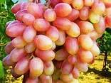 Саженцы винограда Юбилей Новочеркасска - фото 1
