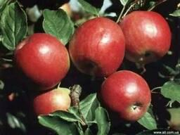 Саженцы яблони Айдаред и Флорина