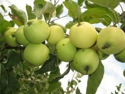 Саженцы яблони «Белый налив»