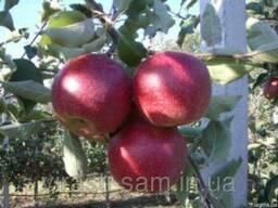 Саженцы яблони Джонагоред