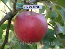 Саженцы яблони Джонагоред супка
