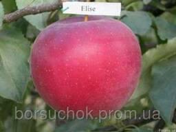 Саженцы яблони Елиза(Зима)