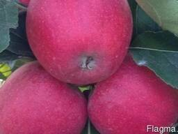 Саженцы яблони Gala Schniga Schnico(s) (Польша)