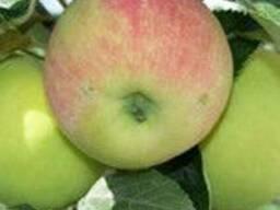 Саженцы яблони Гарант(Зима)