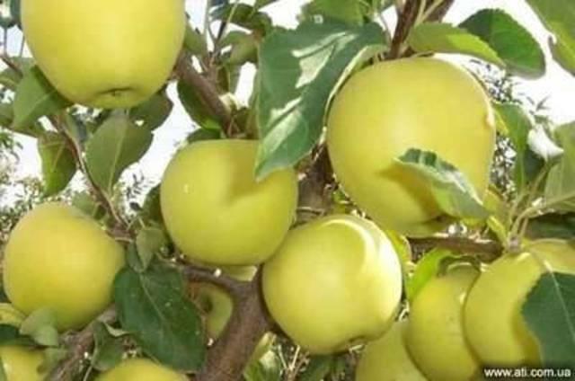 Саженцы яблони Голден Делишес, Топаз