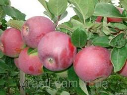 Саженцы яблони Мантуанске ( осень)