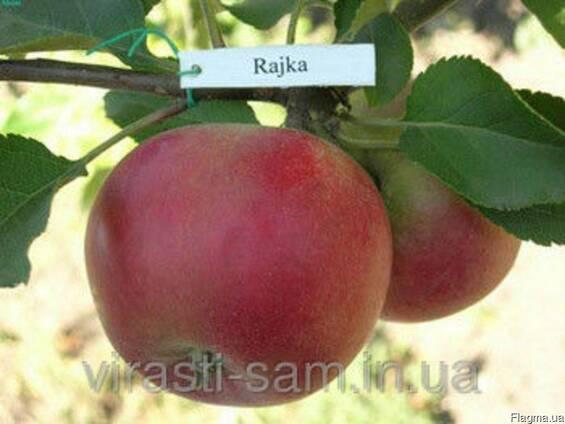 Саженцы яблони Райка(Осень)