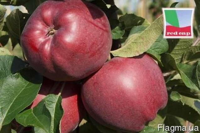 Саженцы яблони Red Cap Valtod (Польша)