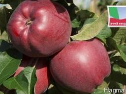 Саженцы яблони Red Cap Valtod (Польша) - фото 1