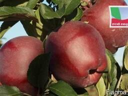 Саженцы яблони Red Cap Valtod (Польша) - фото 4