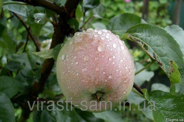 Саженцы яблони Симеренковець (зима)