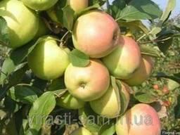 Саженцы яблони Скифское золото (осень)