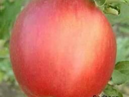 Саженцы яблони сорт Пинова, сорт Лиголь