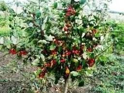 Саженцы: яблоня ягодная декоративная (райская).