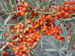 Seabuckthorn Pulp CO2-to extract
