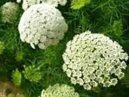 Семена Амми зубной медоносное растение