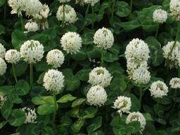 Семена Белый Клевер сорт ( Klondike) Германия 1кг