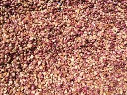 Чеснок продам Семена чеснока Софиевский сорт