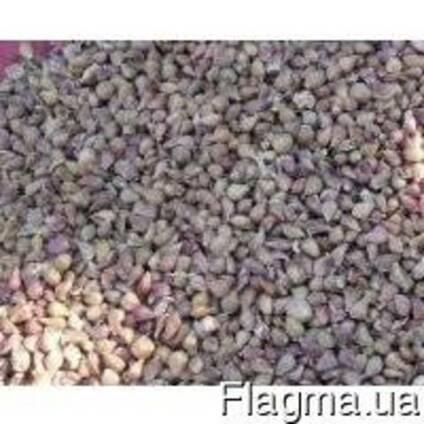 Семена чеснока сорта Софиевский Любаша Одесса 2017