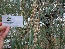Семена дикой маслины (10 штук) лох серебристый косточка.