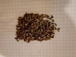 Семена эхинацеи