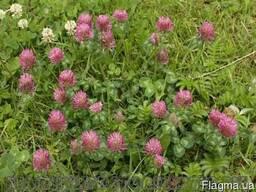 Семена газонной травы с розовым клевером