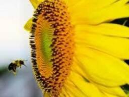 Семена гибрида подсолнечника НС Феликс (А-Е) высокоурожайный
