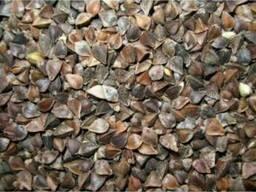 Семена гречихи Дикуль