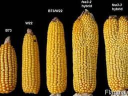 Семена Канадские Сои,Кукурузы,Подсолнуха,Рапса,Пшеницы,Ячмен