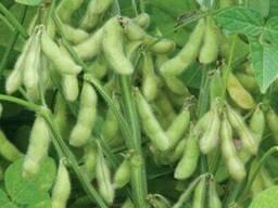 Семена сои Whitby