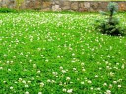 Семена клевера белого, ползучего